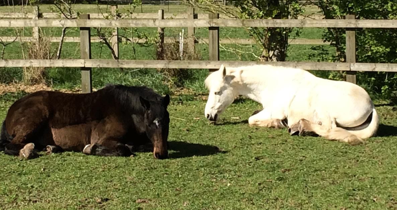 Sleeping ponies in field